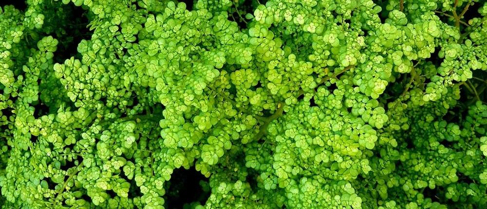 Grüner Moringa gegen Herpes